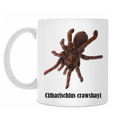 Crawschayi