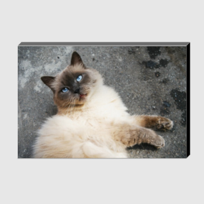 Холст Голубоглазый кот