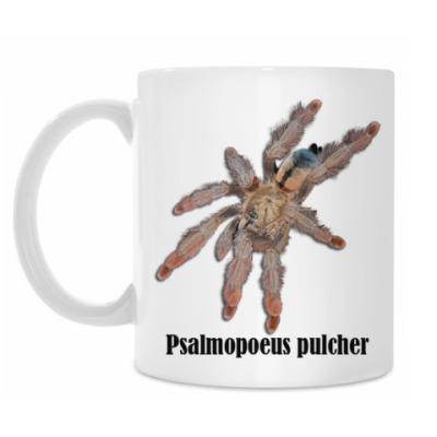 Pulcher Panama