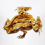 лягушка Kalophrynus interlineatus